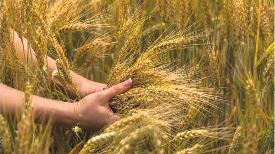 Зерна в поле